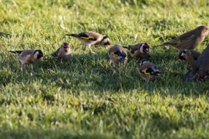 goldfinches etc